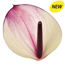 New Phlora Anthurium